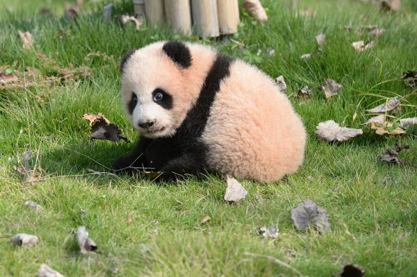 """《关于大熊猫""""帼帼"""",""""花生""""的死亡公告》称,21岁的大熊猫""""帼帼""""和幼崽"""