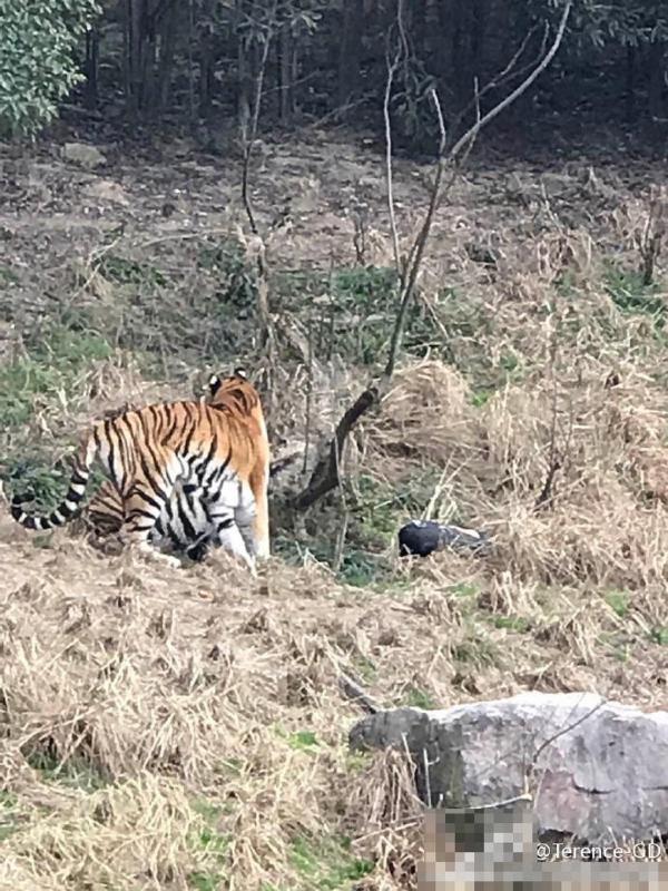 宁波动物园发生老虎咬人事件